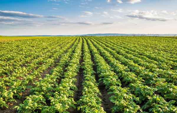 Photo of Uma vacina para plantas comestíveis? Um novo método de proteção de plantas no horizonte