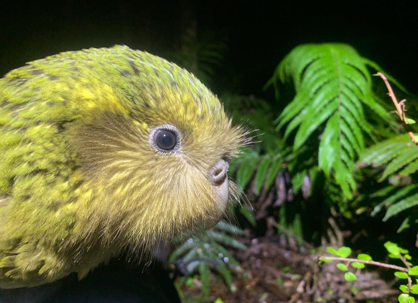 Photo of Cientistas de conservação estão usando tecnologia de ponta para salvar o kakapo – Quartz