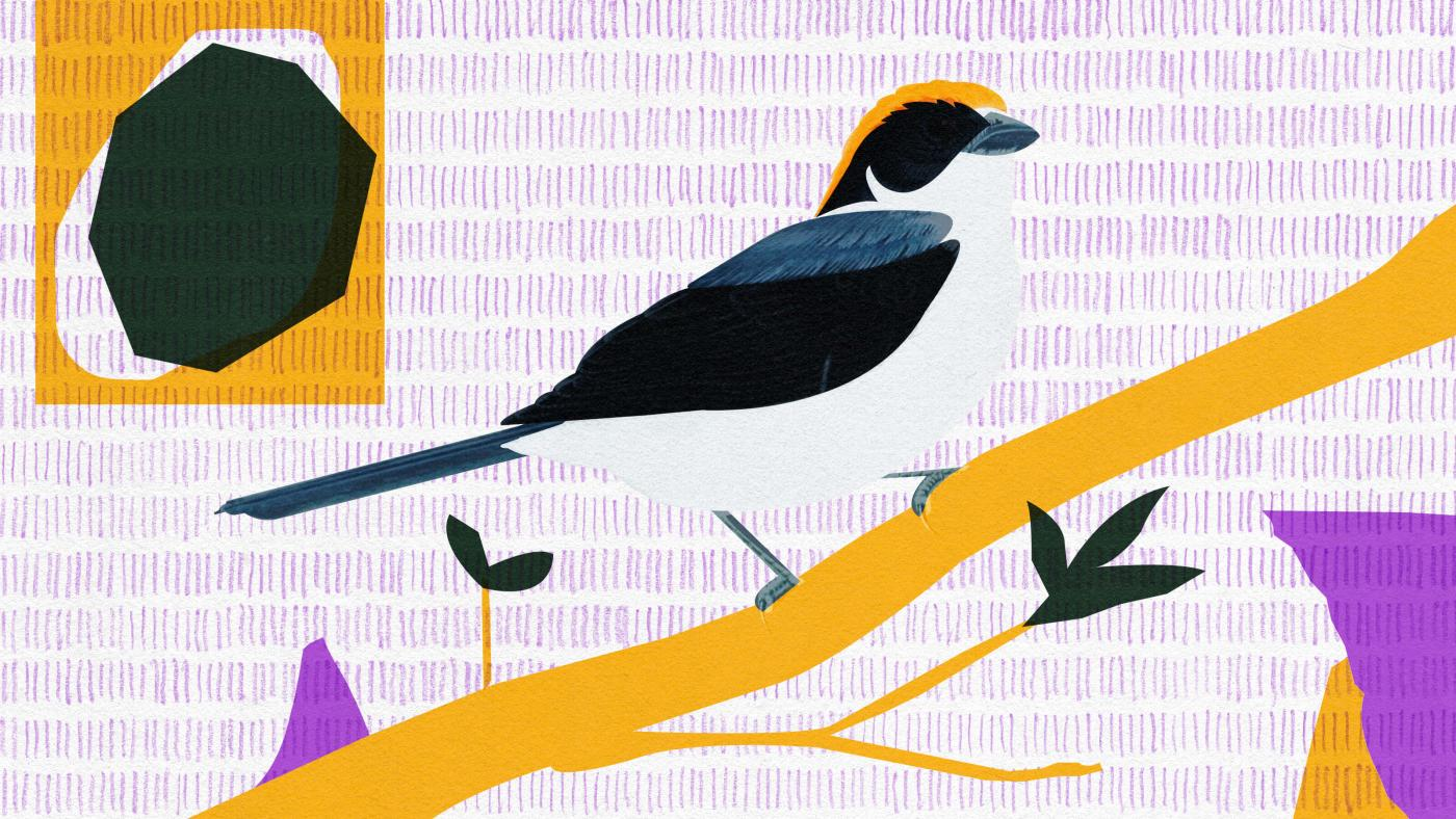 Foto de Como conservacionistas colombianos estão salvando o passarinho de Antioquia – Quartzo