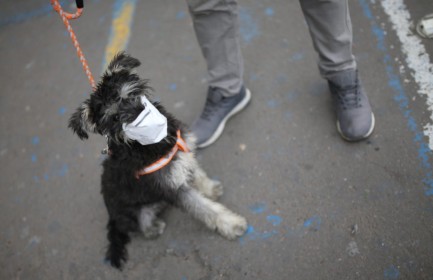 Foto de Covid-19 Dog Mask, Imunity Booster Pet Treatment In Demand In India – Quartz India