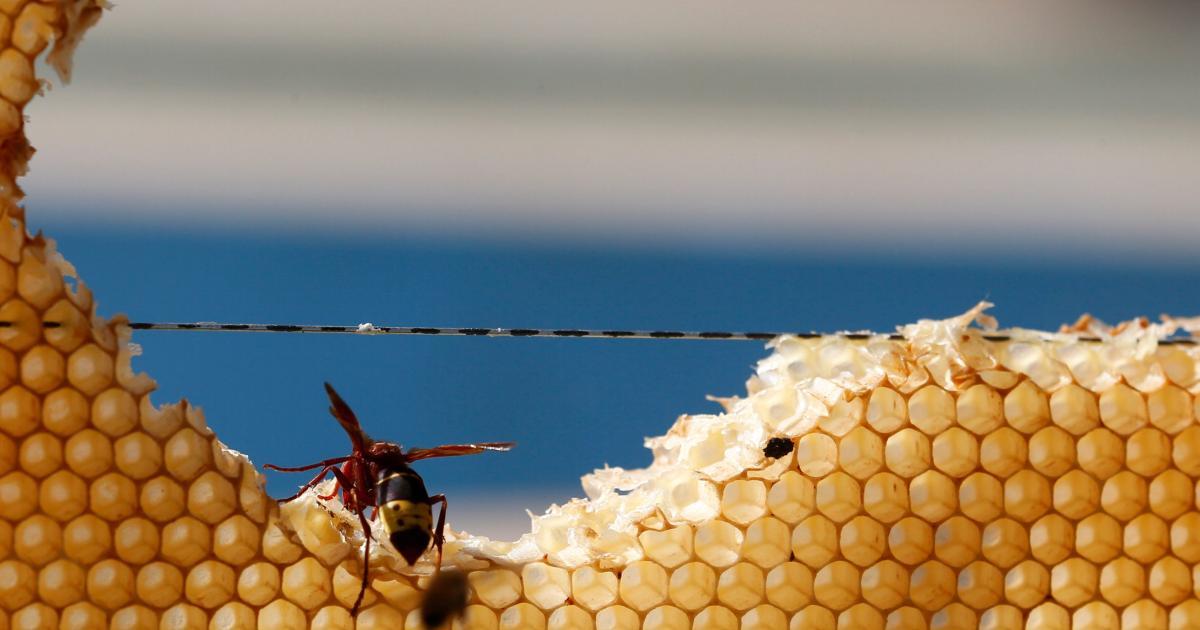 Foto de A cadeia de suprimentos instável para o veneno de vespa que salva vidas – Quartzo