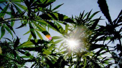 Foto de A indústria africana de cannabis está crescendo devido à legalização – Quartz Africa